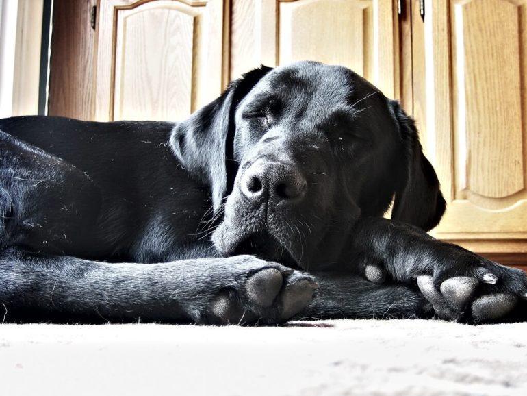 napping dog