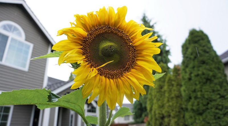 sunflower in rain