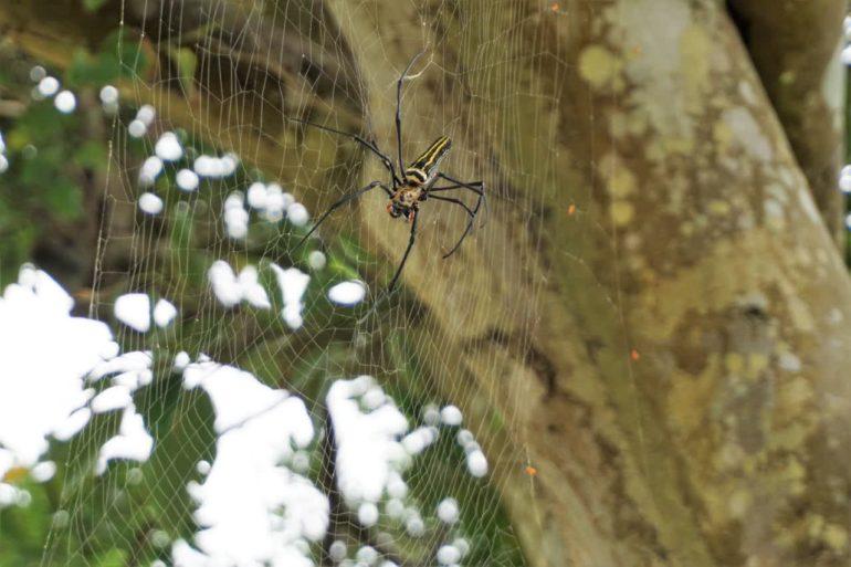 big assed spider