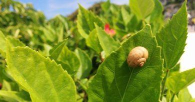okinawa snail