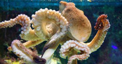November okinawa octopus