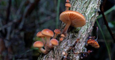 compound mushroom