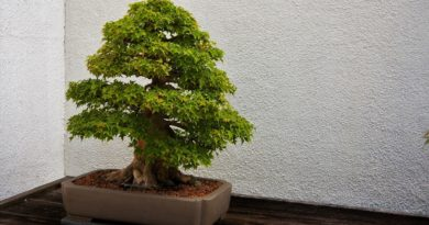corner bonsai small