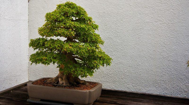 corner bonsai small