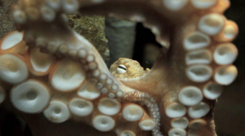 April Octopus 2019
