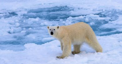 polar bear wlking