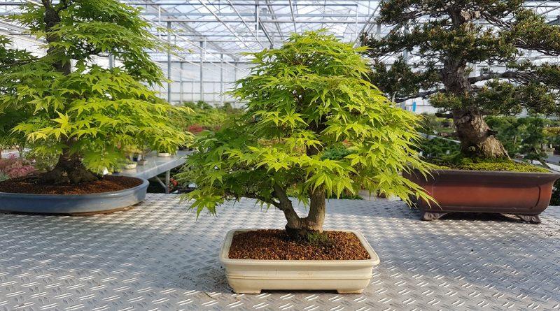 bonsai group